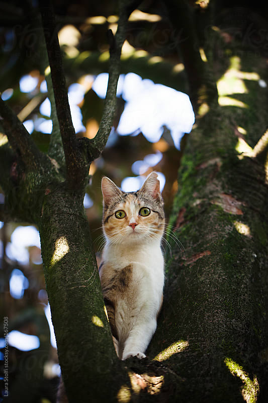 Tabby cat on tree looks straight at the camera by Laura Stolfi for Stocksy United