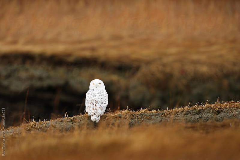 Snowy Owl in a Marsh by Paul Tessier for Stocksy United