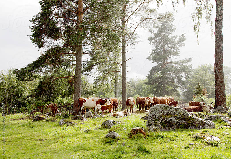 Cows by Rogier Maaskant Photography/Film/Concept for Stocksy United