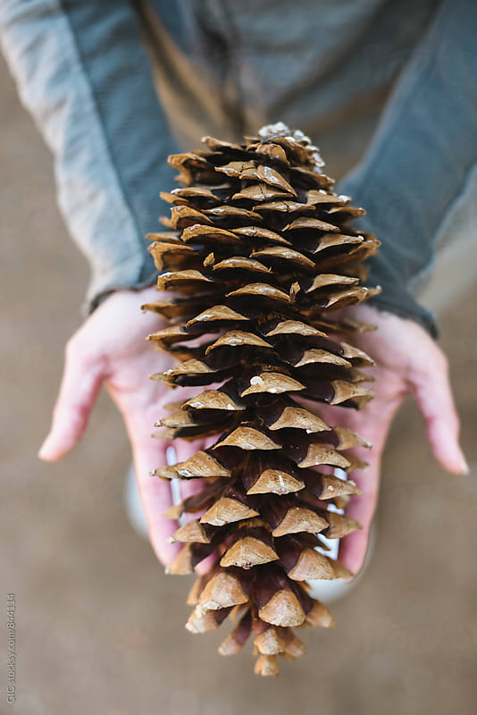 Pine cone in the hand by GIC for Stocksy United