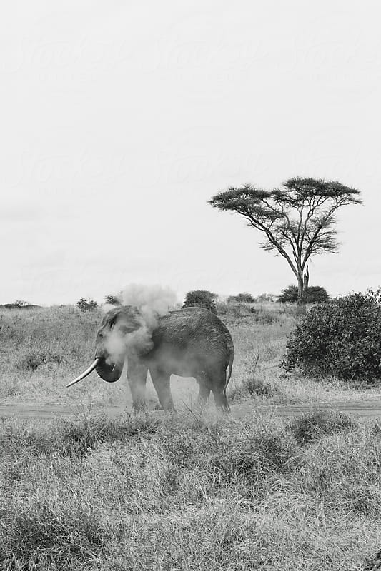 elephant dust bath by Cameron Zegers for Stocksy United