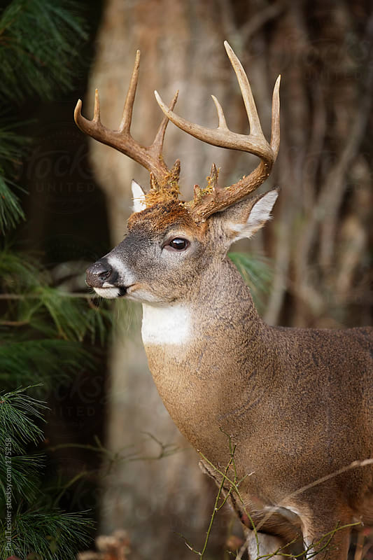 White-Tail Buck by Paul Tessier for Stocksy United