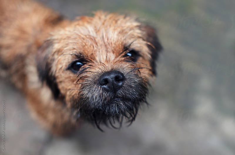 Border Terrier after a rainy day walk by CHRISTINA K for Stocksy United