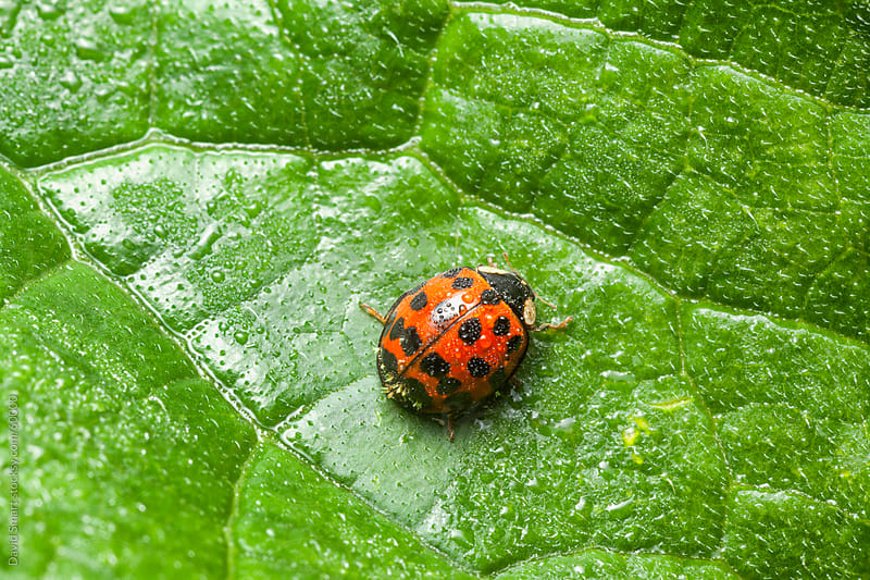 Ladybug on a leaf during rain shower by David Smart for Stocksy United