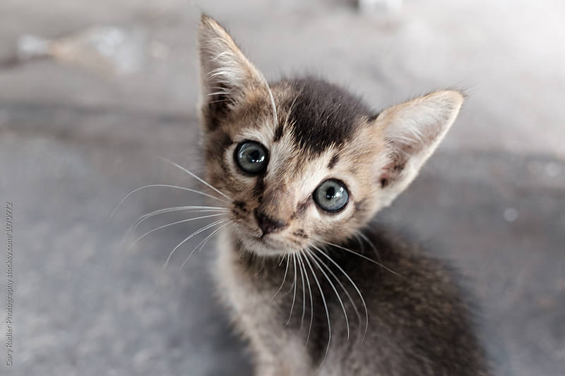 Kitten Looking up at Camera by Gary Radler Photography for Stocksy United