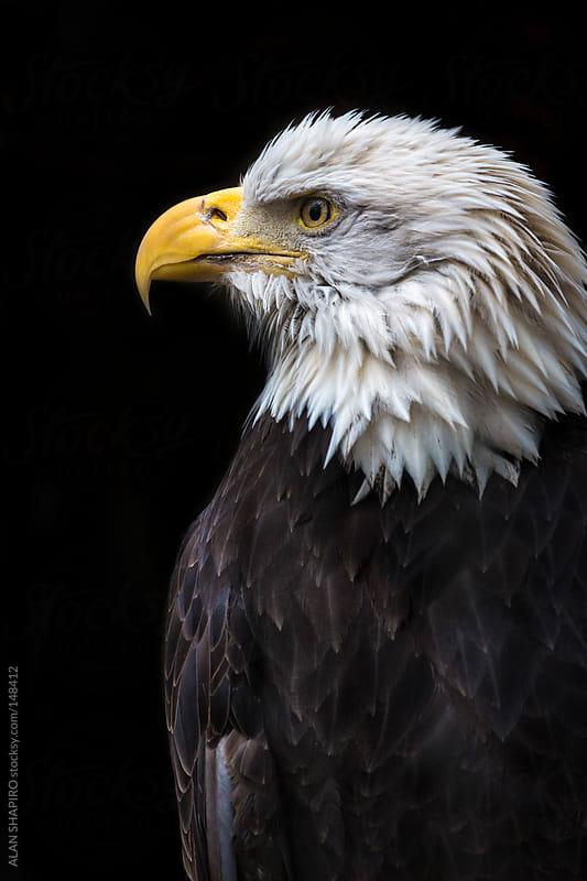 North American Bald Eagle by alan shapiro for Stocksy United