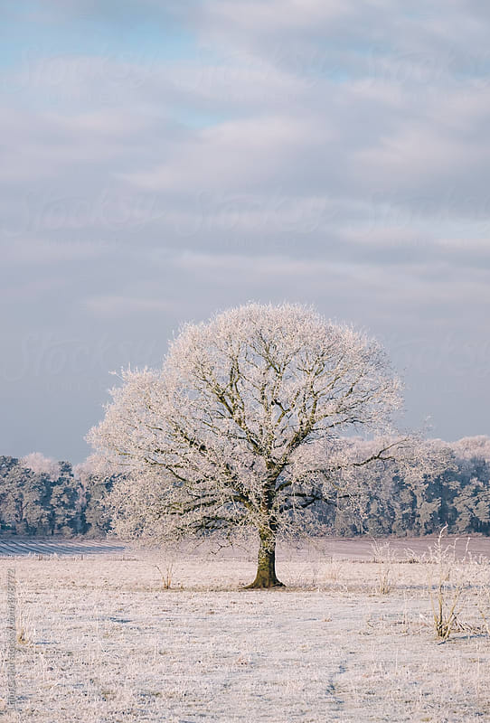 Tree covered in a thick hoar frost. Norfolk, UK. by Liam Grant for Stocksy United