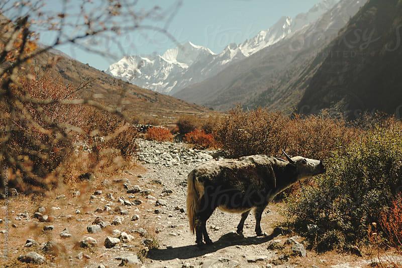 Yaks pastures by Artem Zhushman for Stocksy United