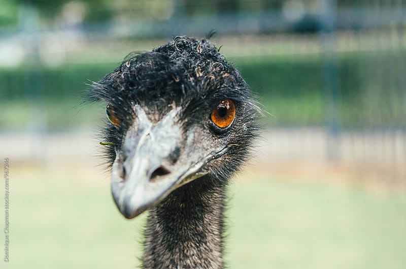 Emu looking at camera by Dominique Chapman for Stocksy United