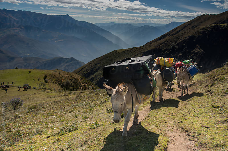 Donkeys (burros) loaded up with cargo in the mountains by Mick Follari for Stocksy United