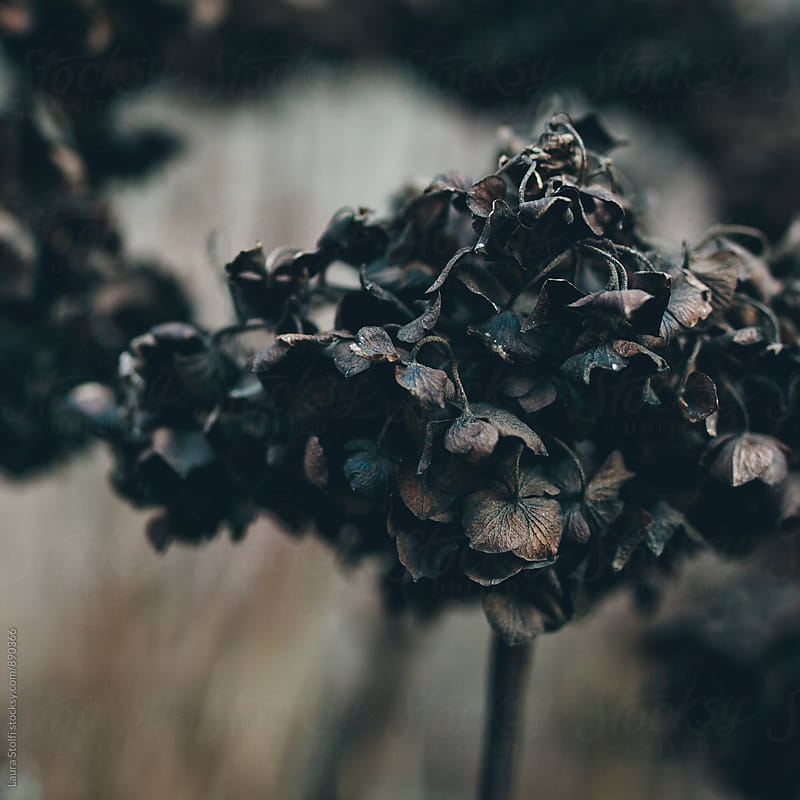 Withered hydrangea flowers cluster in winter, close up by Laura Stolfi for Stocksy United