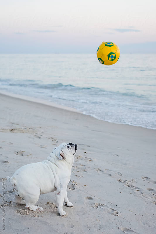 Cute Bulldog on a Brazilian beach by Mauro Grigollo for Stocksy United