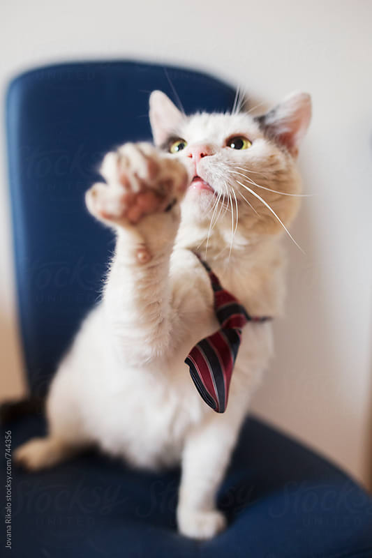 Fashionable cat with a tie by Jovana Rikalo for Stocksy United