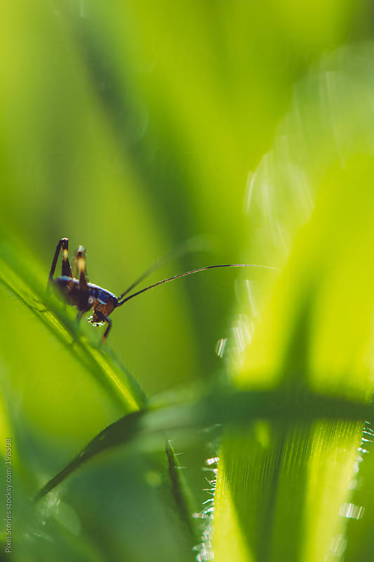 Grasshopper on grass by Pixel Stories for Stocksy United