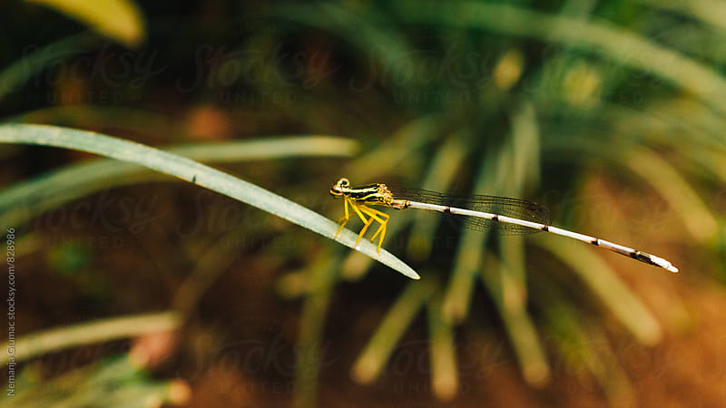 Indonesian Dragonfly Resting on a Leaf by Nemanja Glumac for Stocksy United