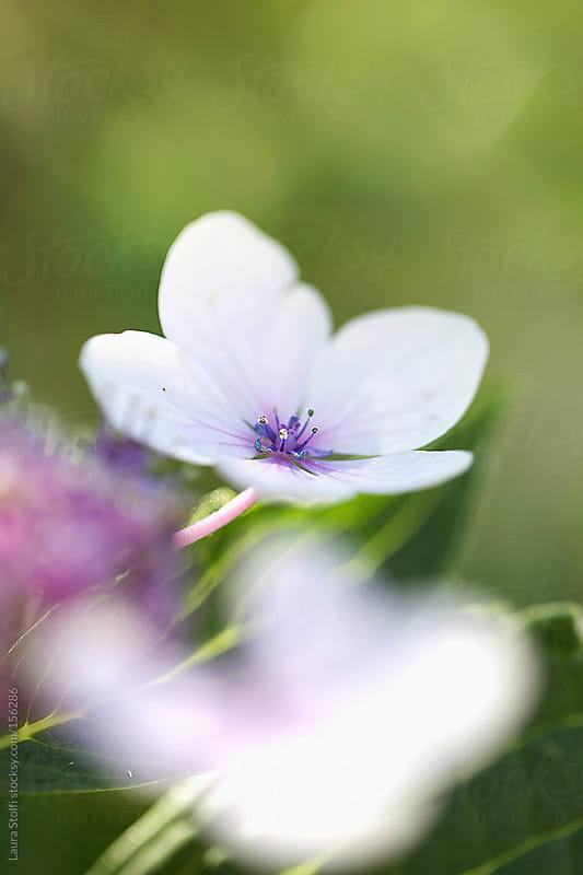 Hydrangea Macrophylla in bloom by Laura Stolfi for Stocksy United