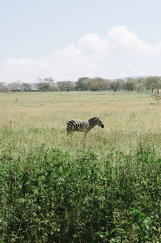 Kenyan Zebra by Beth Grimes for Stocksy United