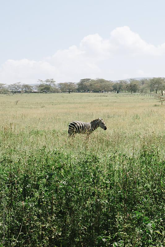 Kenyan Zebra by Beth Johnston for Stocksy United