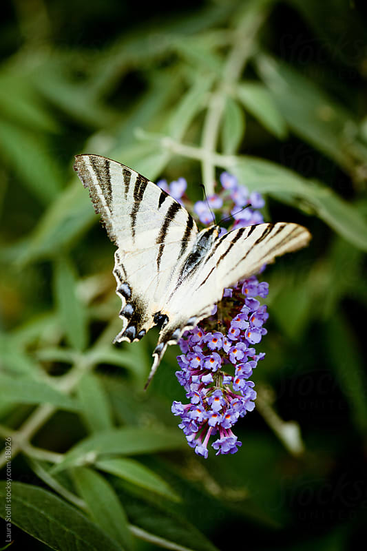 Scarce Swallowtail butterfly with broken wing on butterfly's bush flower by Laura Stolfi for Stocksy United