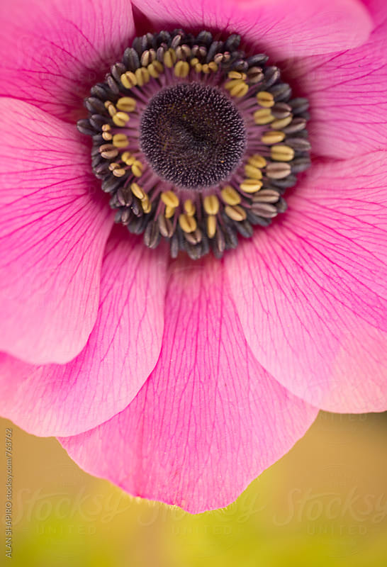 Anemone flower by alan shapiro for Stocksy United