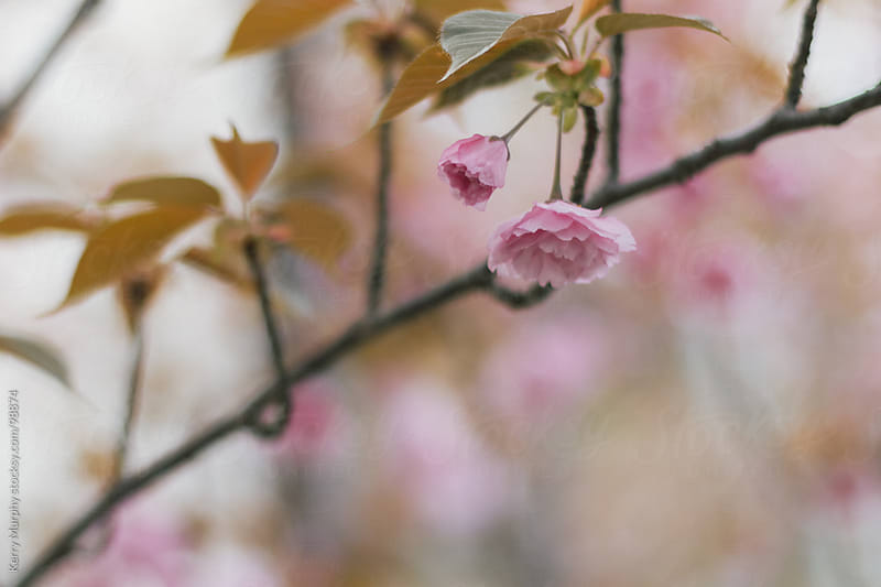 Pink cherry blossoms in spring by Kerry Murphy for Stocksy United