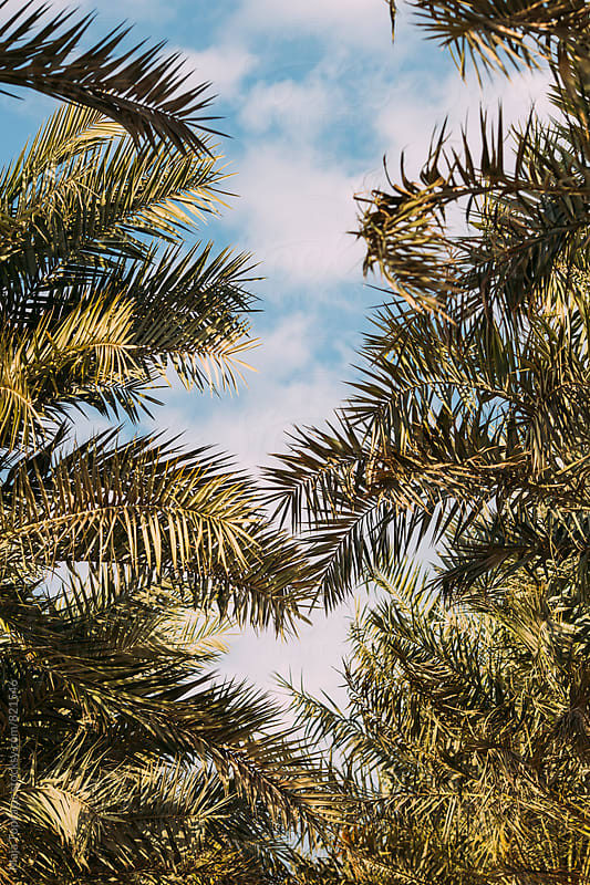 Palm trees by Maja Topcagic for Stocksy United