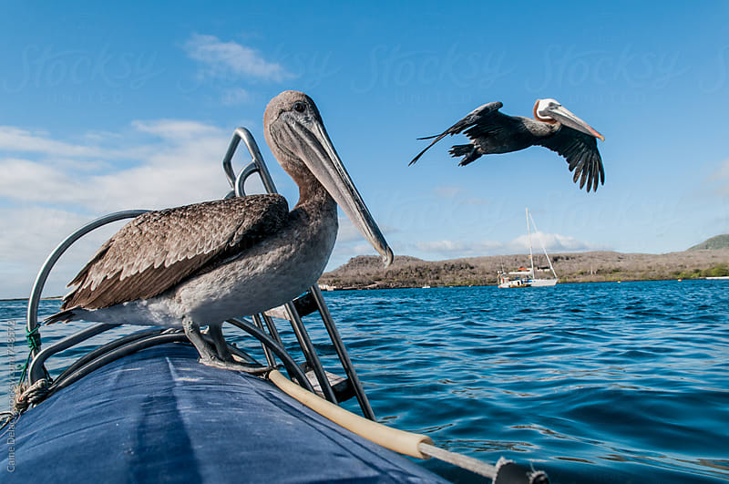 Pelican on a boat, one in the air by Caine Delacy for Stocksy United