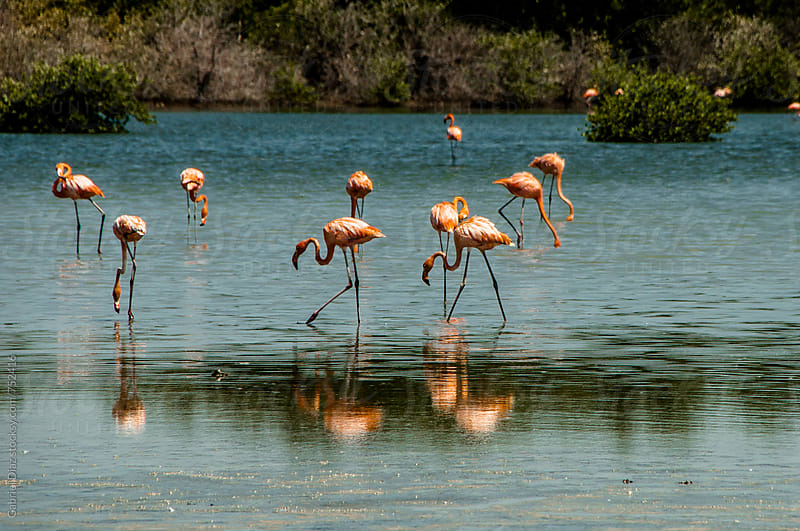 Pink flamingos in aLagoon in Venezuela by Gabriel Diaz for Stocksy United