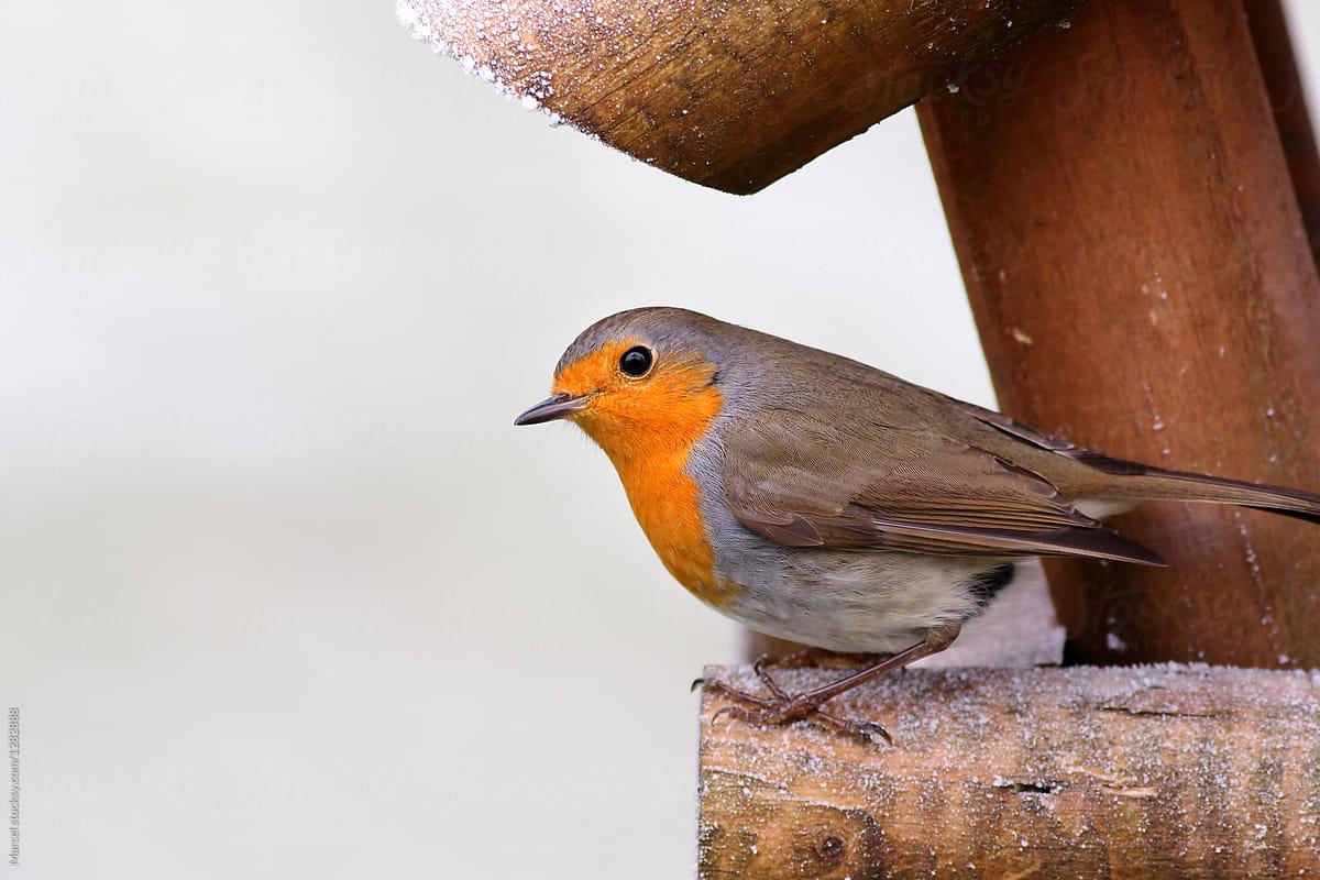 red robin bird on wooden on birdfeeder table stocksy united