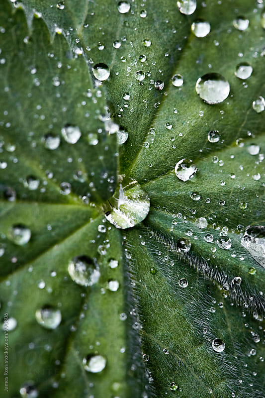 Drops of rain water on leaves by James Ross for Stocksy United