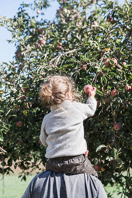 A toddler on his grandfather's shoulder picking apples by Lior + Lone for Stocksy United