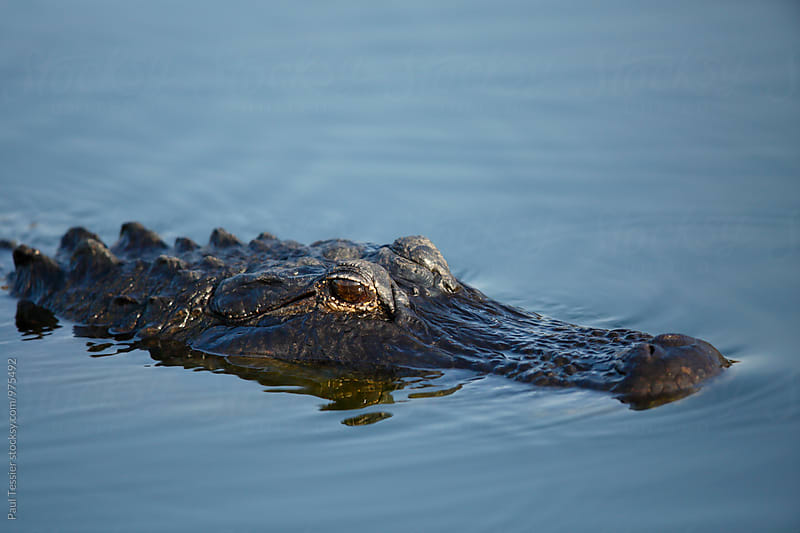 American alligator by Paul Tessier for Stocksy United