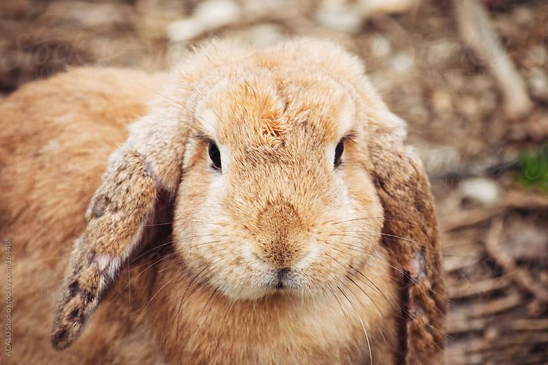 Brown rabbit by ACALU Studio for Stocksy United
