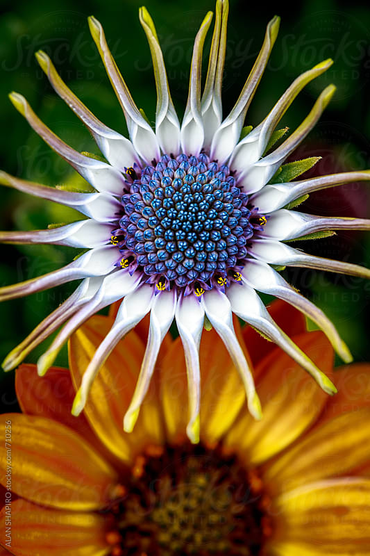 Osteospermum by alan shapiro for Stocksy United