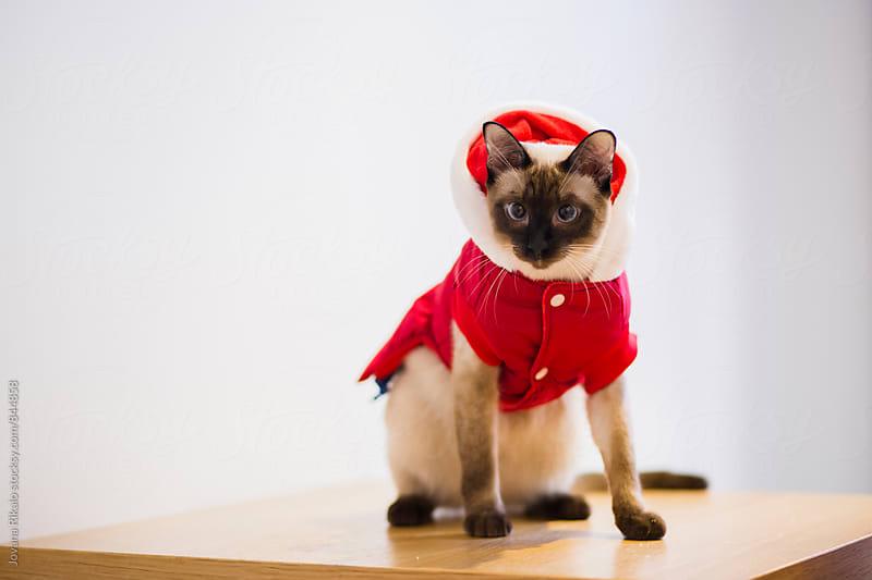 Christmas siamese cat by Jovana Rikalo for Stocksy United