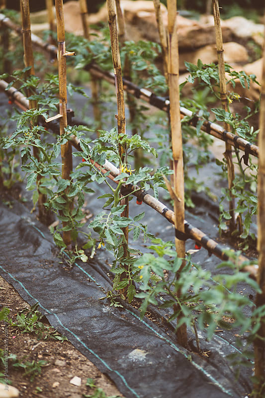Tomato ecology farm by Javier Pardina for Stocksy United