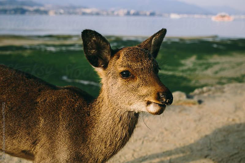 Deer in Miyajima, Japan by Daria Berkowska for Stocksy United