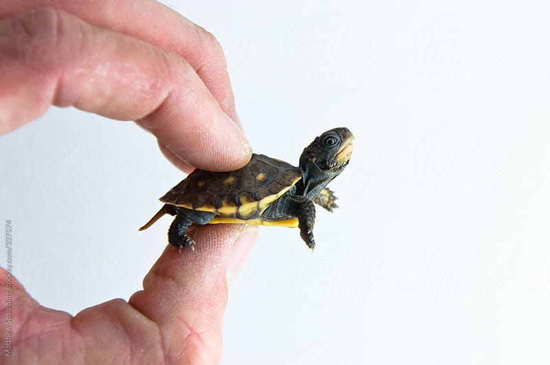 Small young turtle held between human fingers by Matthew Spaulding for Stocksy United