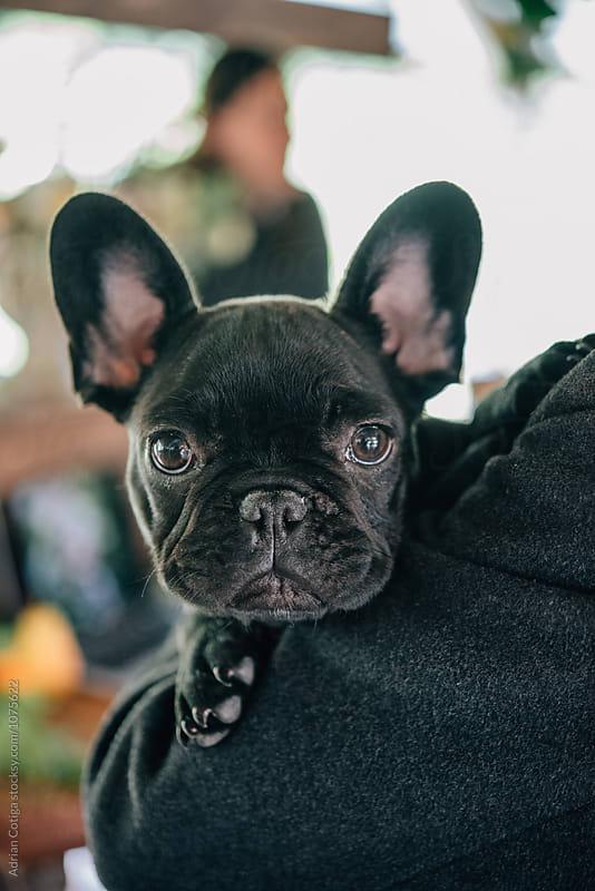 French bulldog  by Adrian Cotiga for Stocksy United