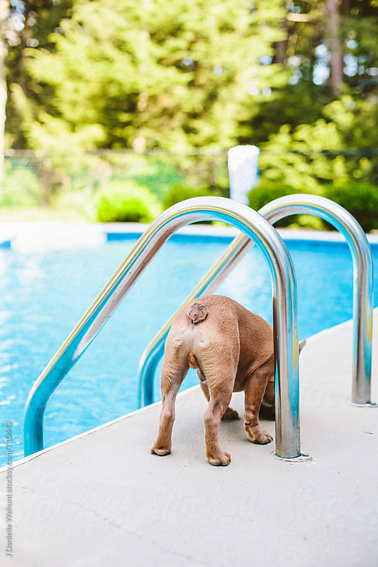 A blue fawn french bulldog hanging out by the pool. by J Danielle Wehunt for Stocksy United