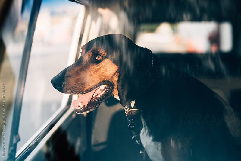 Dog sitting in an old car by Isaiah & Taylor Photography for Stocksy United