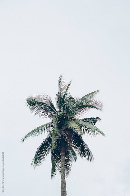 Palm trees, Thailand by Studio Firma for Stocksy United