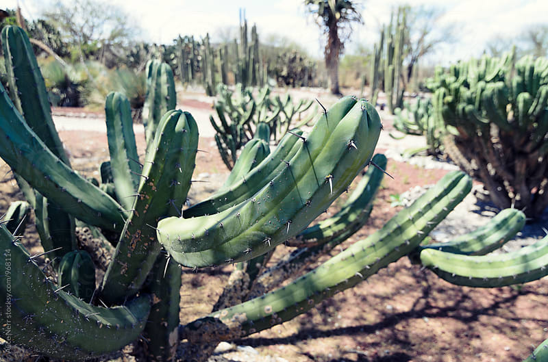 Cactus paradise by Alice Nerr for Stocksy United