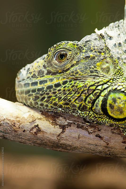 Green iguana by Alex Hibbert for Stocksy United