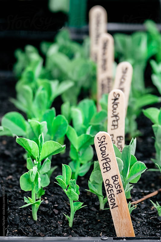 Snowpea Seedlings by Rowena Naylor for Stocksy United