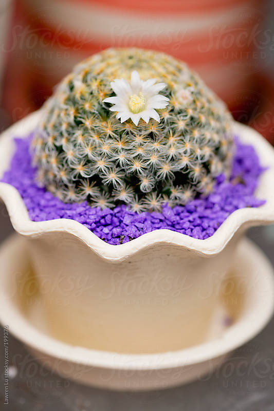 Lovely white flower on cactus in pot by Lawren Lu for Stocksy United