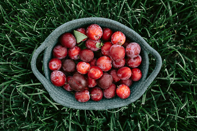 Freshly harvested organic plums by Amy Covington for Stocksy United