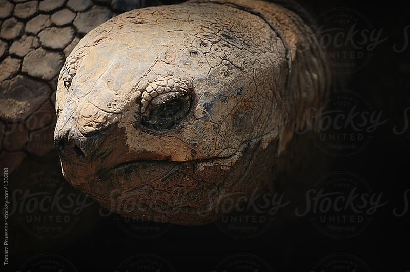 Close Up Of Galapagos Tortoise by Tamara Pruessner for Stocksy United