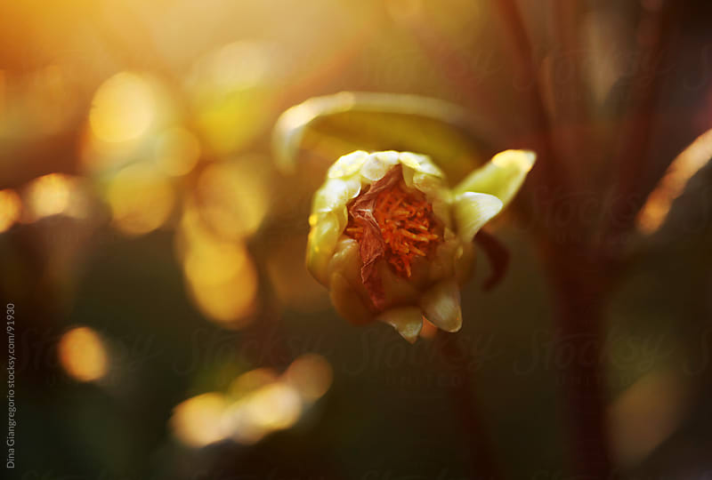 Yellow flower bud with orange center against golden sunlit background by Dina Giangregorio for Stocksy United