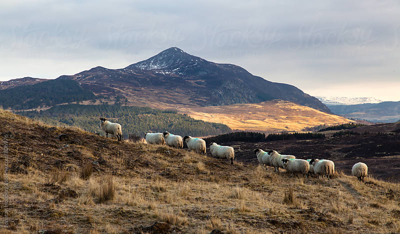 Sheep on a hill in the Scottish highlands by Jonatan Hedberg for Stocksy United